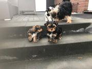 3 Yorkshire Terrier Welpen 12