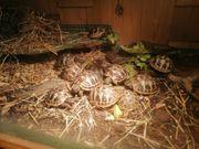 Schildkröten Griechische Landschildkröten THB geb