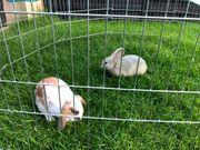 Zwerg Kaninchen