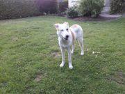 Wunderbare Schäferhund Mix Lizzy