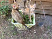 Traumhaft schöne Bengal Kitten in