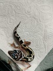 Leopardgecko 0 1 inkubiert Elterntiere