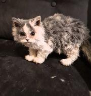 süße kitten im schäfchen pelz