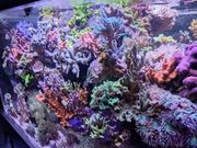 Meerwasser Korallenableger Korallen Zoas Weichkorallen
