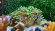 Meerwasser Korallen SPS LPS Euphillia
