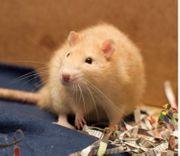 Ratten Adult Ausgewachsen