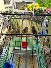 Kanarienvögel 3 Hahn 1 Hähne