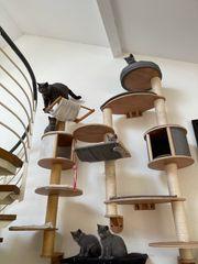 BKH Kitten Britisch Kurzhaar Kitten