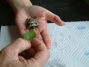 Griechische Landschildkröten Wollen Sie unsere