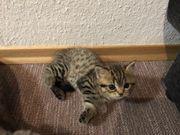 Wunderschönes und verspieltes BKH-Kitten