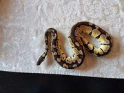 Python regius königspython 1 0