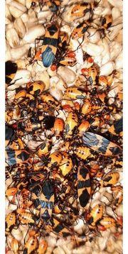 Milchkrautwanzen Oncopeltus fasciatus