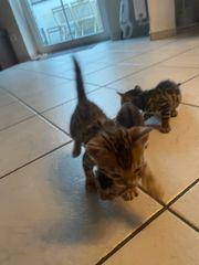 3 Reinrassige Bengal baby Katzen