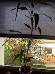 Bambuspflanzen zu verschenken
