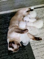 heilige birma Baby Katzen
