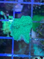 Anfängerkorallen Meerwasser