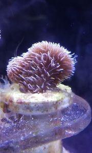 Meerwasser Pavona Cactus LPS Steinkoralle