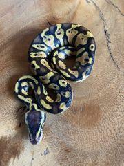 Königspython - Pastel Gravel Yellow Belly