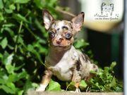 Exclusive Chihuahua aus geprüfter Zucht