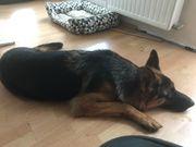 Schäferhund Rüde 16 Monate