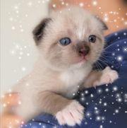 BKH Scottisch Fold Kitten Jungs