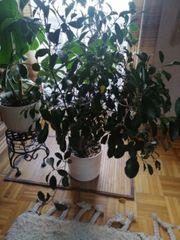 Ficus Benjaminus Birkenfeige 110 cm