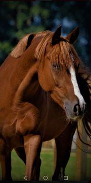 Junges Traum pony Stute