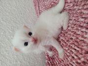 Perser- Türkisch Angora Kitten