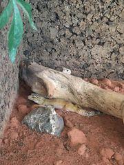 Leopardgeckos Harem 1 3