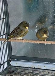 Ich verkaufe schöne Kanarienvögel gloster