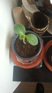 Kürbispflanzen
