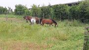 Pferdeboxen Einstellplätze Pensionsplätze für Ponys