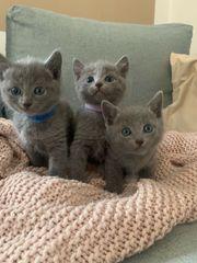 Russisch Blau Katzen Kitten