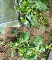 ca 20 Grünkohlpflanzen 2 Sorten