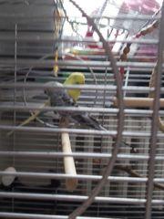 2 kanarienvögeln mit käfig