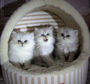 Superschöne Perser Kitten mit Stammbaum