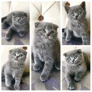 Scottish Fold Kitten Blau 12