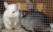 2 Chinchilla Weibchen weiss und