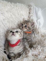 2 reinrassige Bkh Fold Kitten