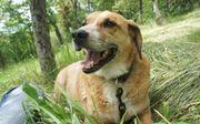 TIERSCHUTZ KARL der Beagle Mix