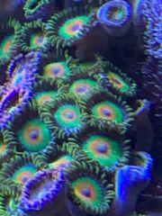 Zoanthus verschiedene Meerwasser Korallen