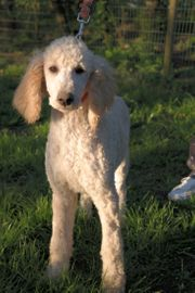 Großpudeljunghunde m Pap