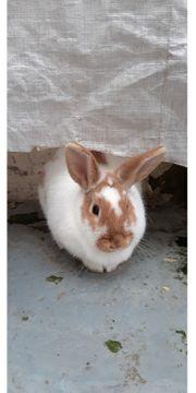 Dringend-Einsames Kaninchen abzugeben - Platz vor