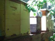 Jungvölker Bienen Bienenvolk Carnica auf