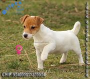 Lebhafte Jack Russell Terrier Welpen