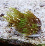 Meerwasser 2x Affenhaar Koralle