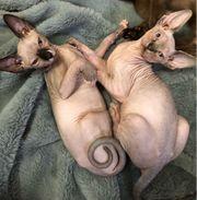 Sphynx Kitten reinrassig Junge und