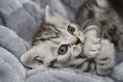 Britisch Kurzhaar BKH Kitten Whiskas