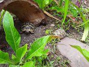 Griechische Landschildkröten NZ von 2020