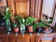 Pflanzenpaket Zimmerpflanzen Grünpflanzen Calathea Dieffenbachia